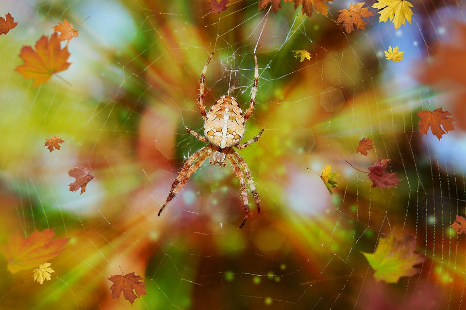 Spider, Spiderweb, Cobweb, Arachnid, Insect, Animals