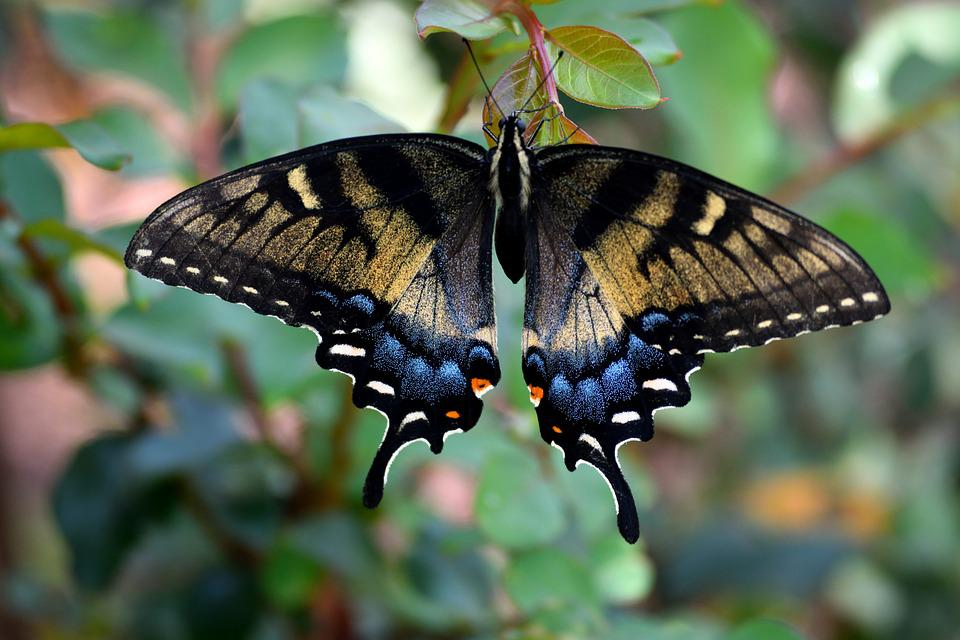 Swallowtail Butterfly, Color, Insect, Wildlife