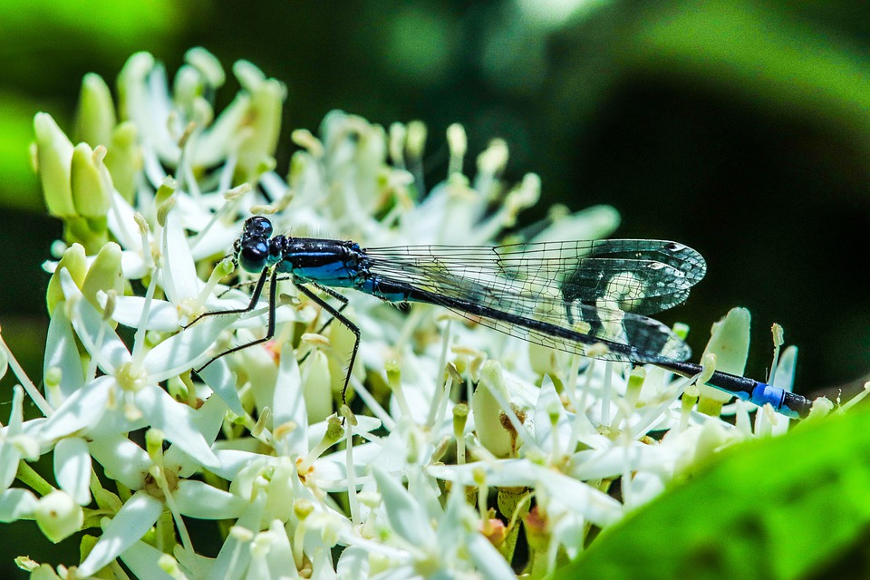 Common Cup Bridesmaid, Dragonfly, Insect, Blue, Nature