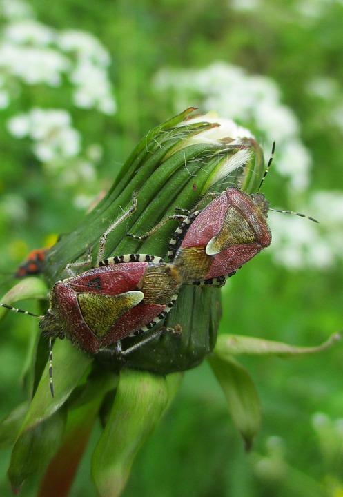 Bug, Insect, Dandelion, Macro