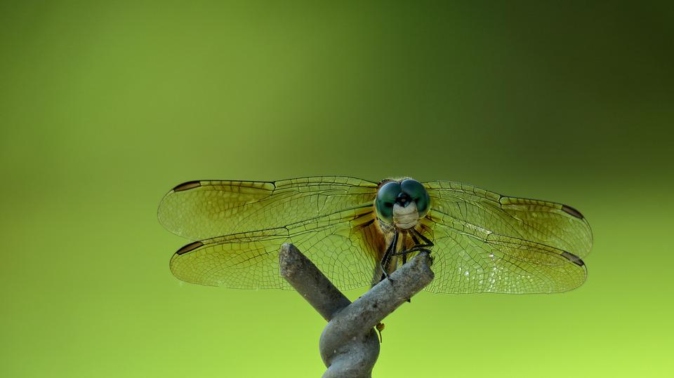 Dragonfly, Eyes, Wing, Green, Insect