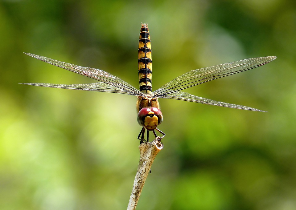 Greater Crimson Glider, Dragonfly, Insect, Macro
