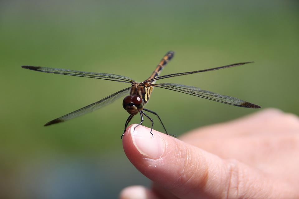 Dragonfly, Insect, Green, Natural