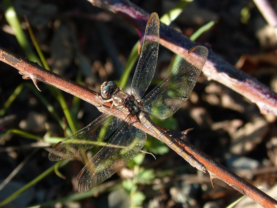 Dragonfly, Branch, Insect, River