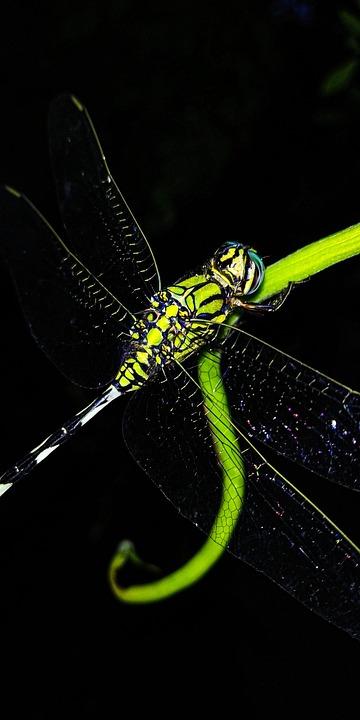 Dragonfly, Insect, Slender Skimmer, Green Marsh Hawk