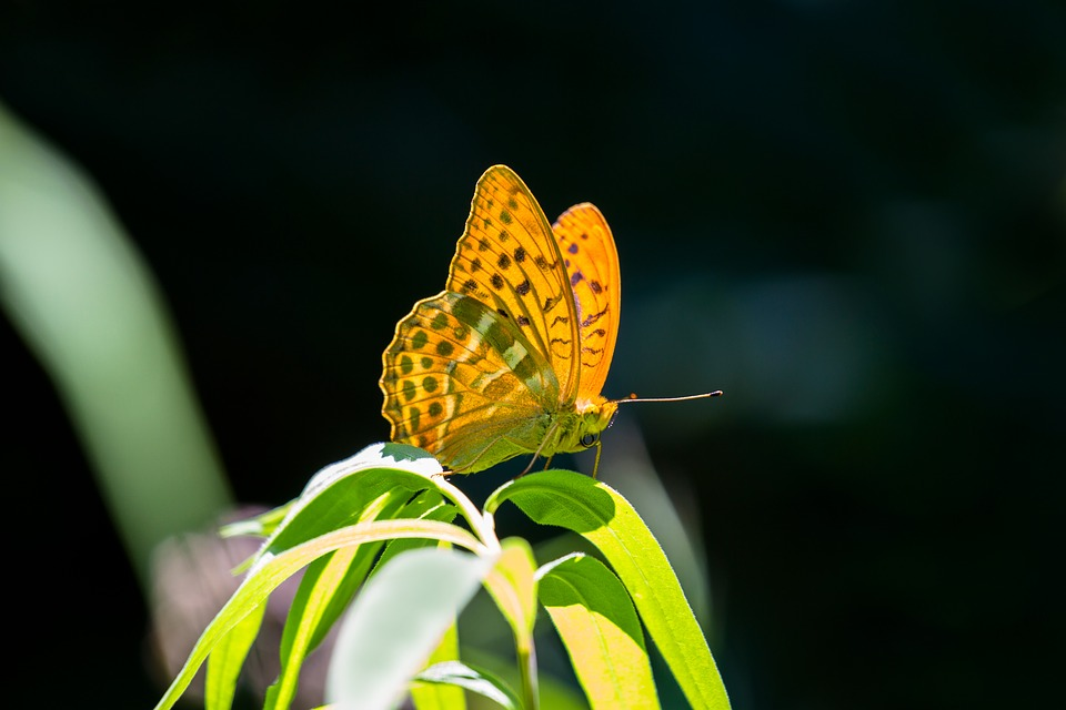 Butterfly, Fritillary, Drexel, Insect
