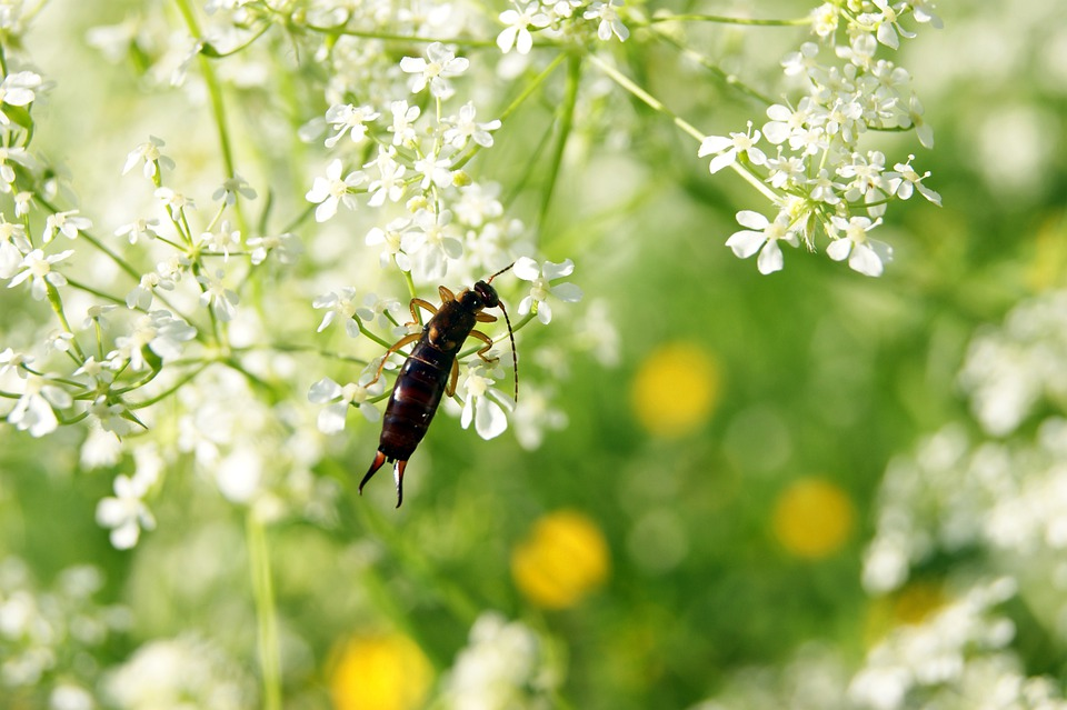Ohrenhoehler, Earwig, Insect, Flower, Meadow, Nature
