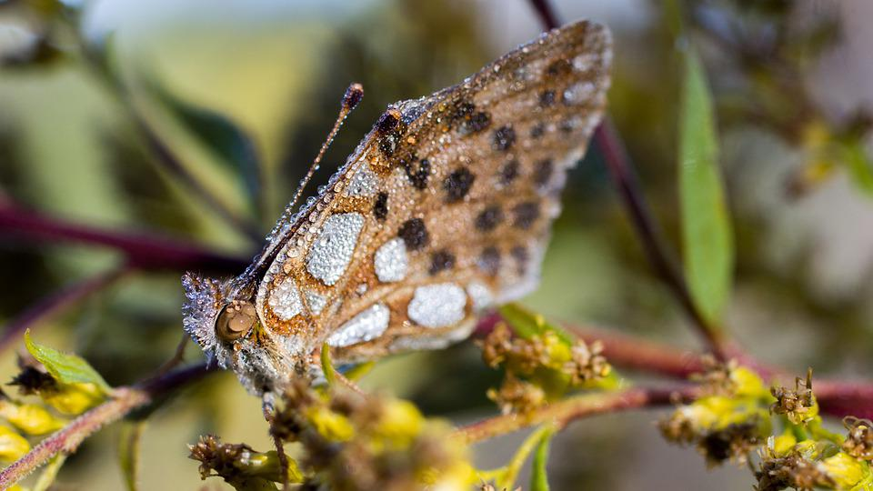 Butterfly, Insect, Entomology, Species, Macro, Flower