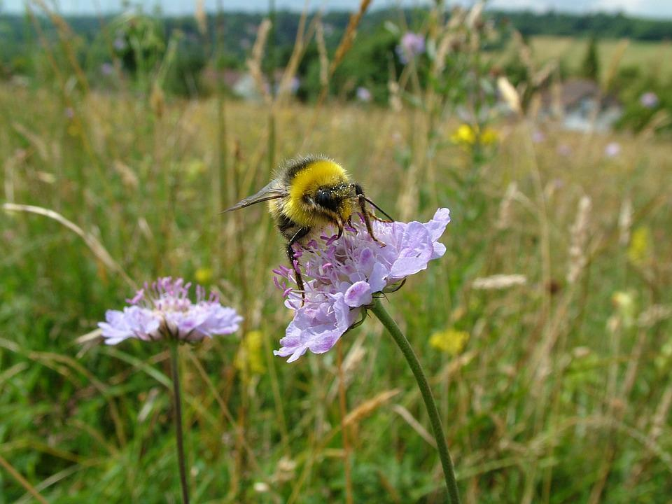 Bumblebee, Meadow, Summer, Bee, Nature, Insect, Field