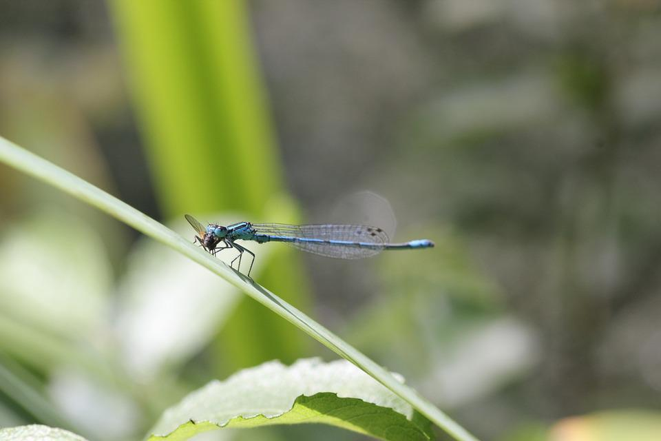 Dragonfly, Blue, Close, Insect, Flight Insect