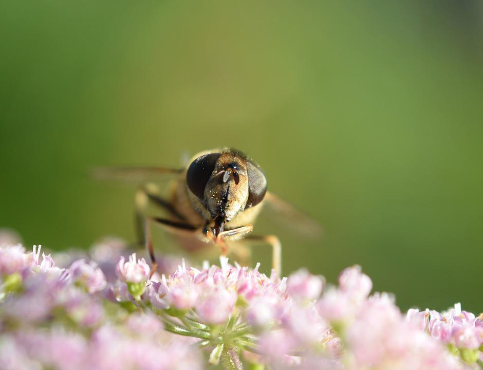 Bee, Macro, Close, Insect, Blossom, Bloom, Flower
