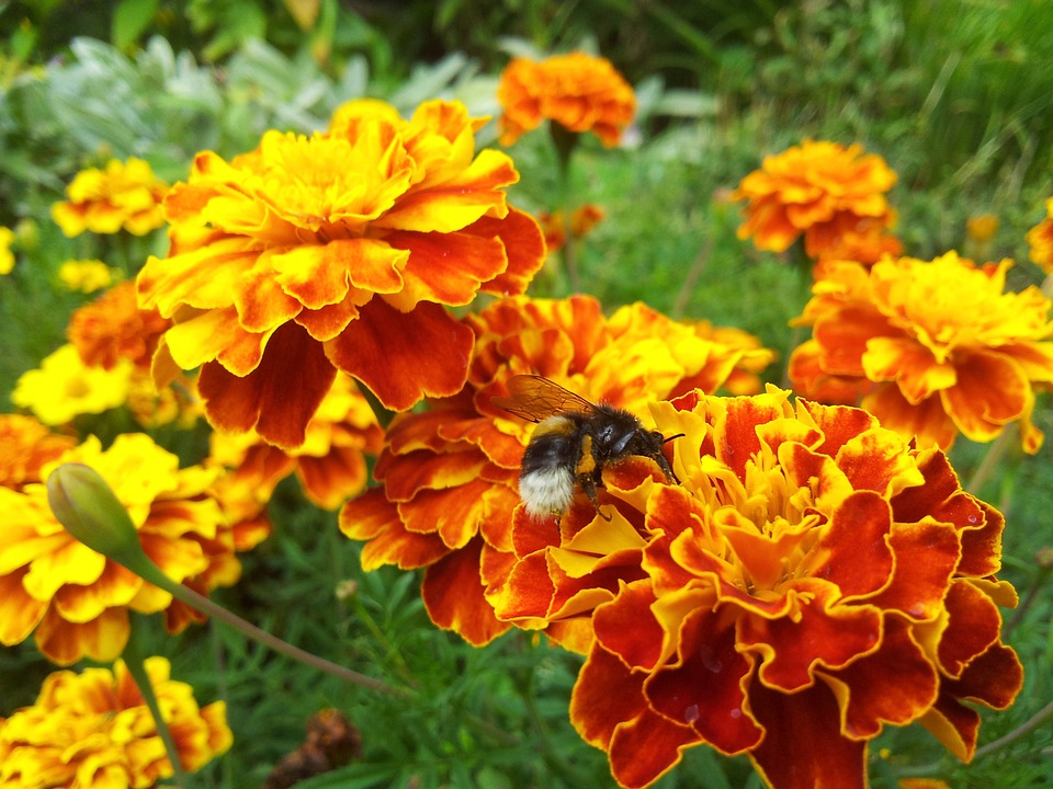 Flower, Nature, Yellow, Bee, Garden, Insect, Afrikaner
