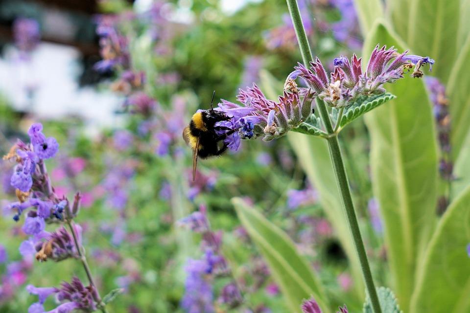 Hummel, Insect, Blossom, Bloom, Nature, Flower, Summer