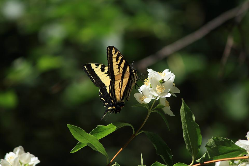 Swallowtail, Butterfly, Insect, Nature, Flower, Spring
