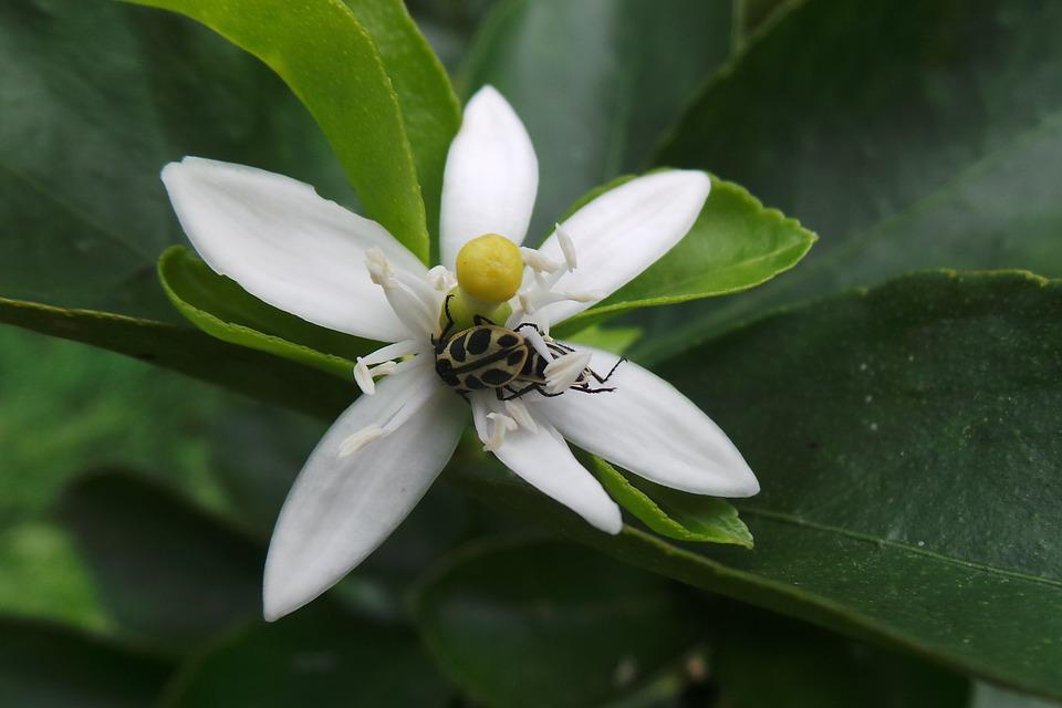 Insect, Flower, Orange Tree