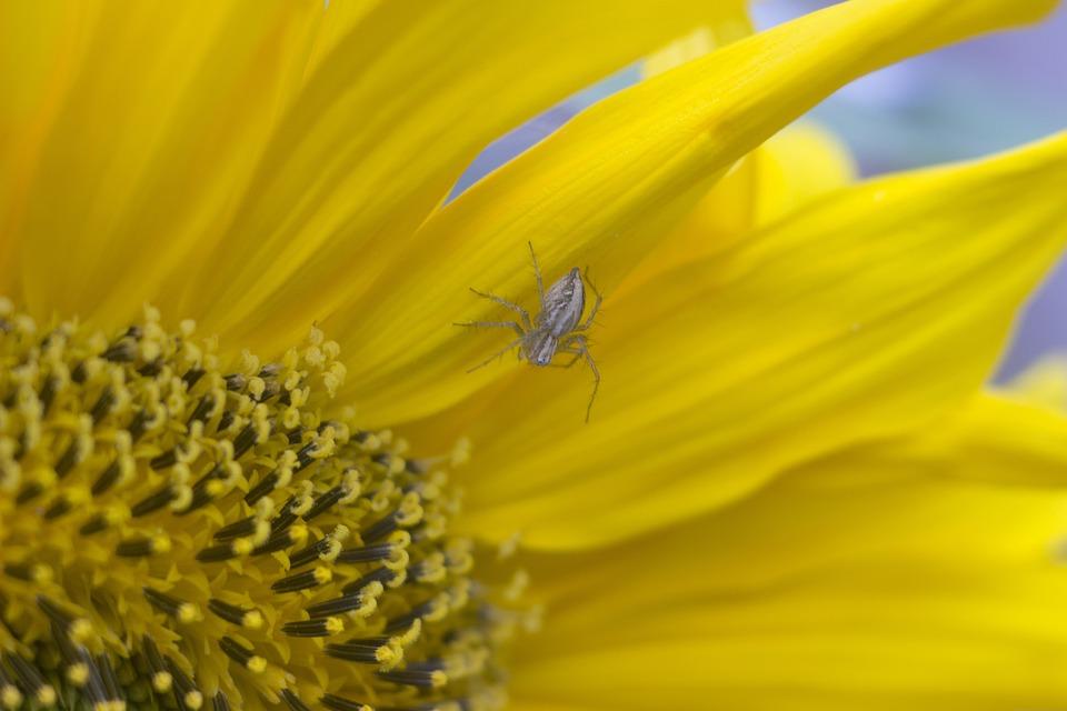 Spider, Flower, Plant, Insect, Garden, Sunflower