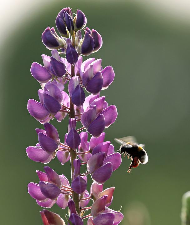 Lupine, Bee, Flower, Insect, Spring, Nature, Violet