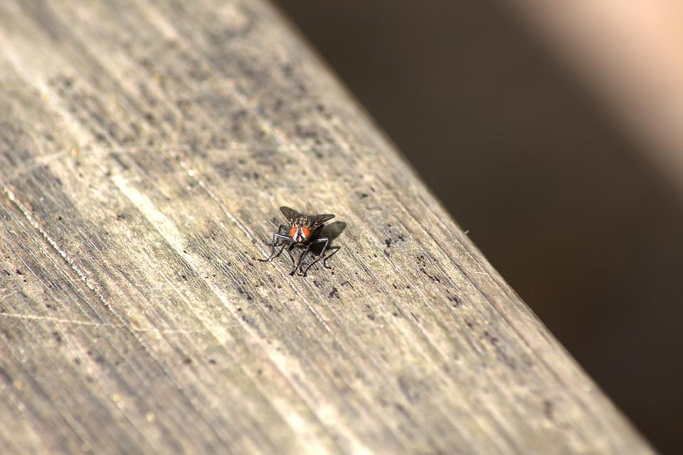 Fly, Insect, Close