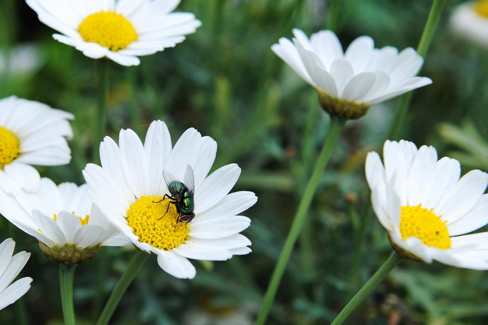 Daisies, Mosquito, Nature, Summer, Insect, Fly, Flower
