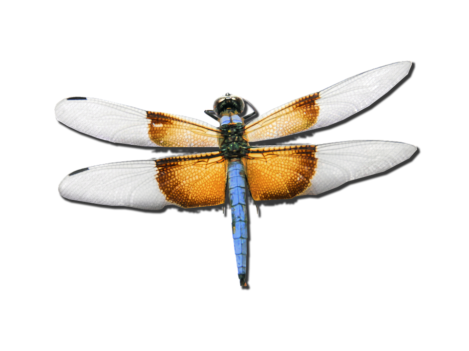 Dragonfly, Skimmer, Bug, Insect, Nature, Flying