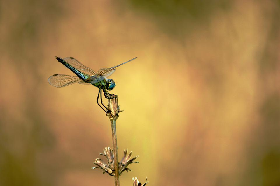 Dragonfly, Wing, Insect, Flying, Flowers, Transparent