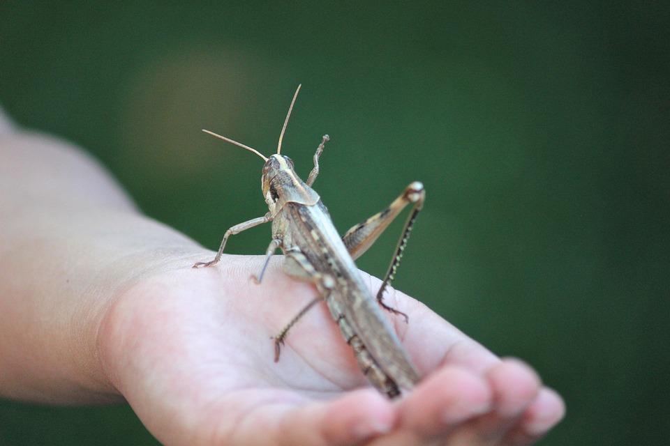 Grasshopper, Locust, Insect, Bug, Giant, Hand, Garden