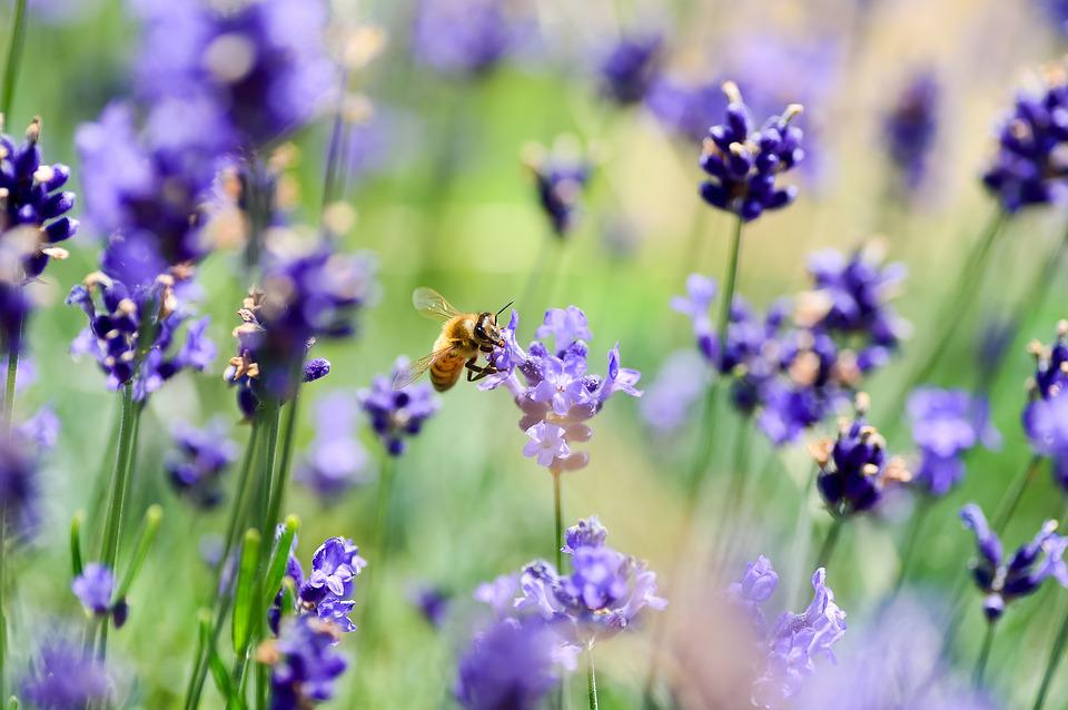 Lavender, Bee, Flowers, Garden, Insect, Violet, Plant