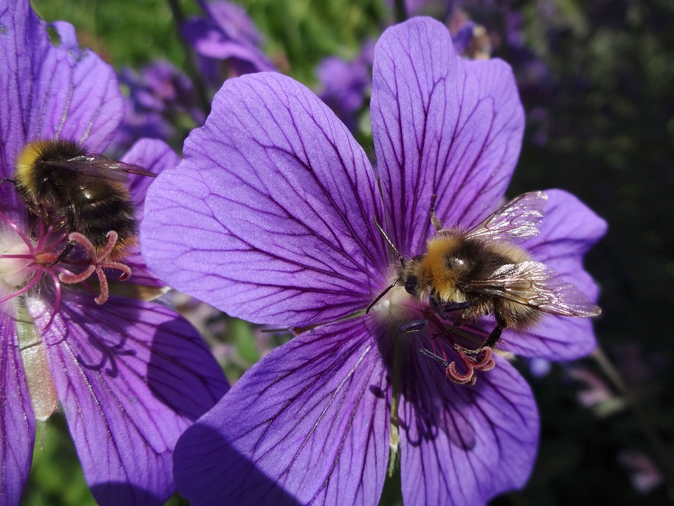Bumble Bee, Honey Bee, Bees, Insect, Geranium
