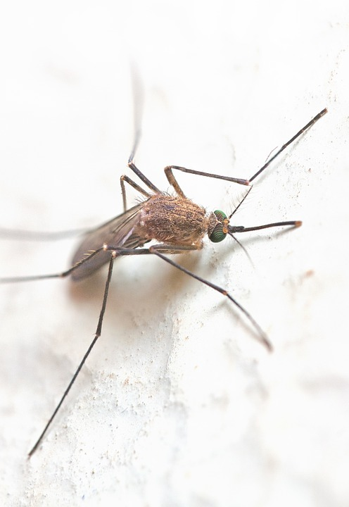 Mosquito, Insect, Fly, Blood-eating, Bug, Gnat, Animal