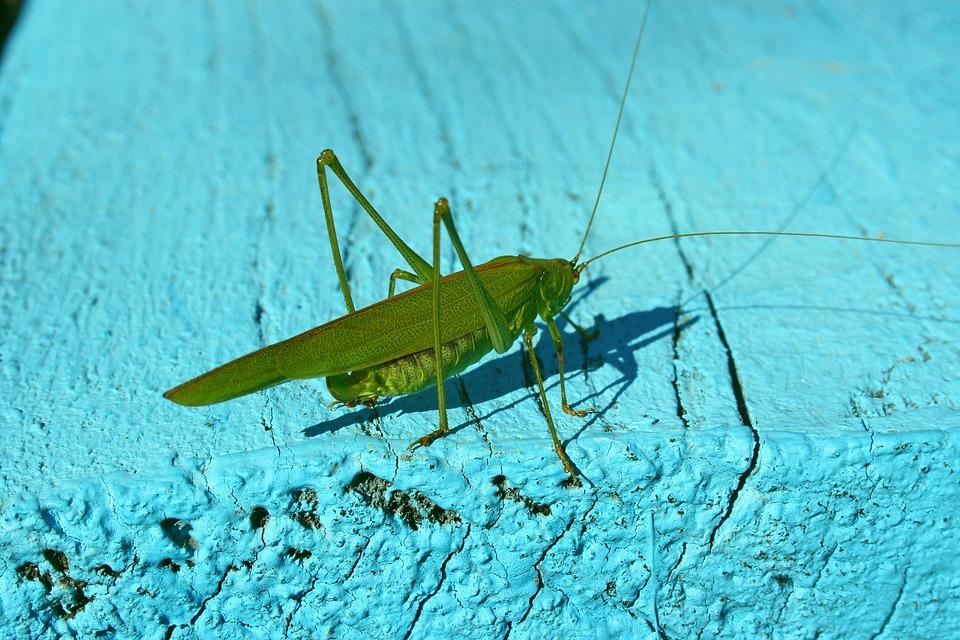 Grasshopper, Insect, Green, Nature, Summer