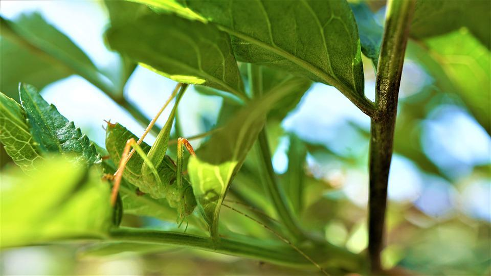 Grasshopper, Insect, Green, Leaves, Branches, Nature