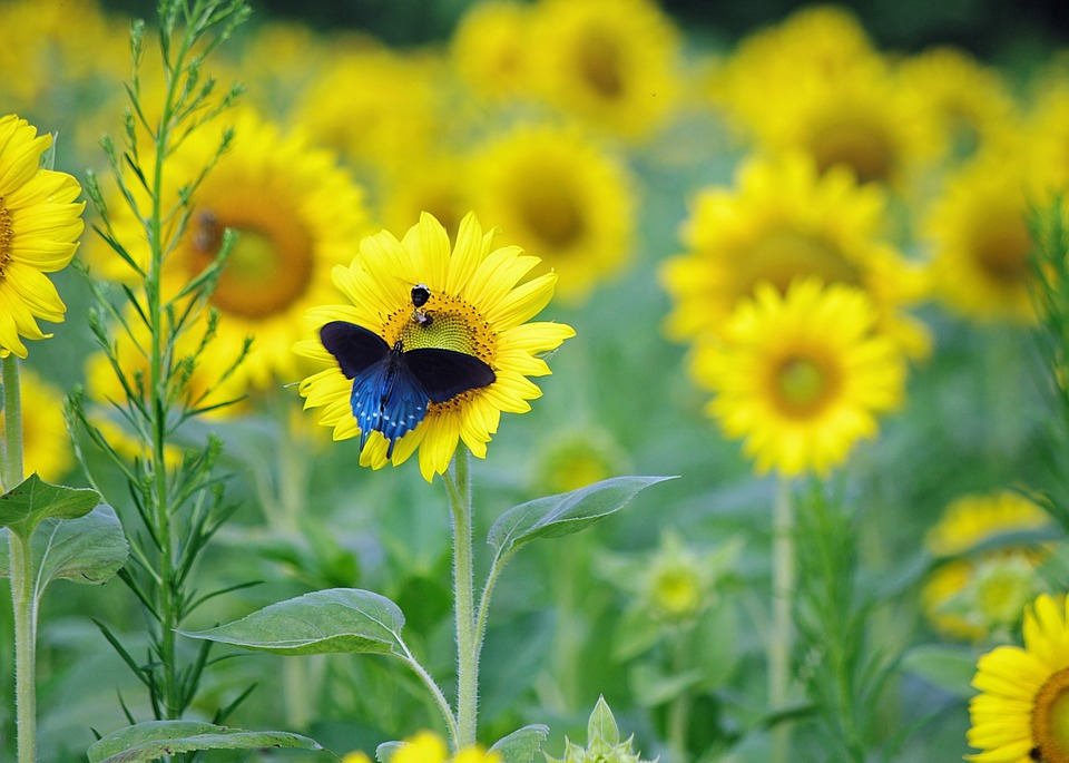Butterfly, Sunflowers, Blue, Yellow, Green, Bug, Insect