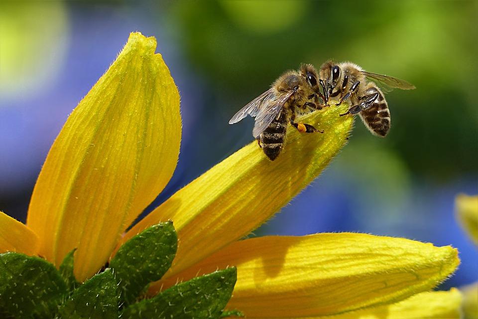 Bee, Honey Bee, Apis, Insect, Flower, Garden
