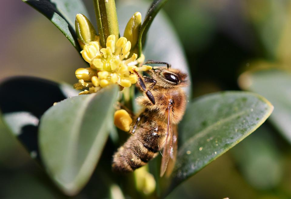 Bee, Honey Bee, Blossom, Bloom, Insect, Beekeeping