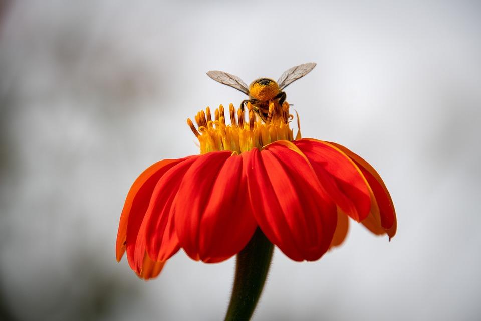 Honey Bee, Bee, Flower, Zinnia, Insect, Hymenoptera