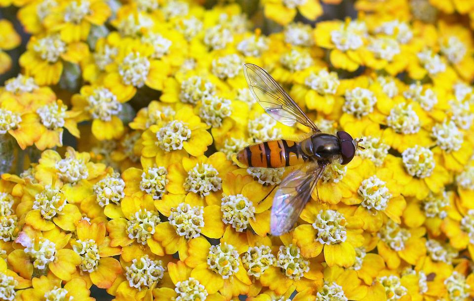 Hover Fly, Insect, Fly, Flower