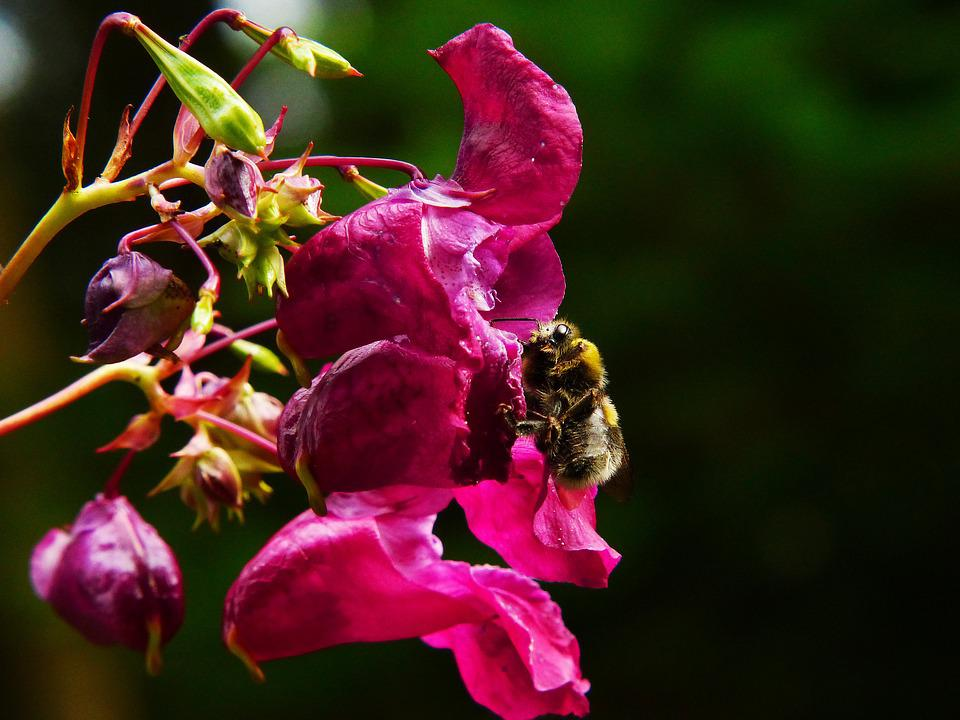 Indian Springkraut, Himalayan Balsam, Hummel, Insect