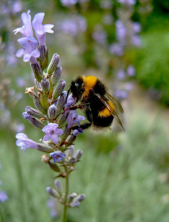 Hummel, Animals, Insect, Nature, Summer