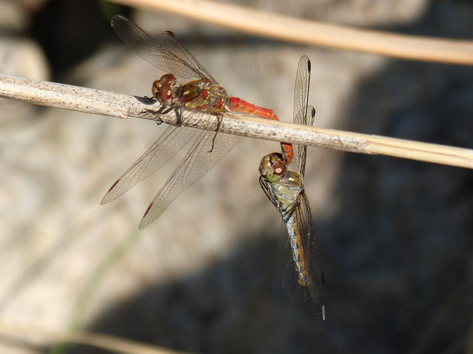 Dragonfly, Insect Intercourse, Mating
