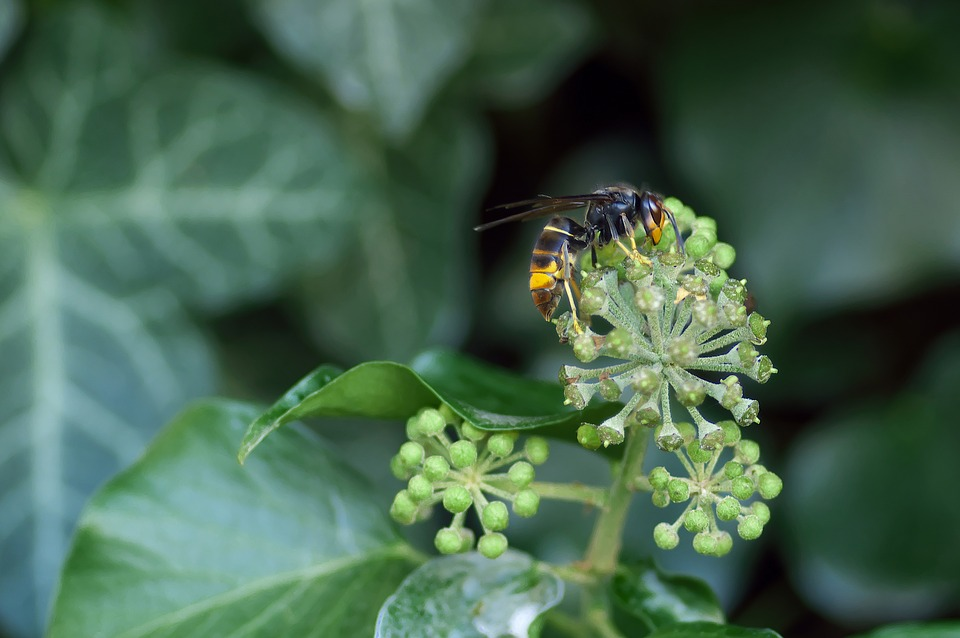 Asian Hornet, Insect, Ivy, Foraging, Invasive Species