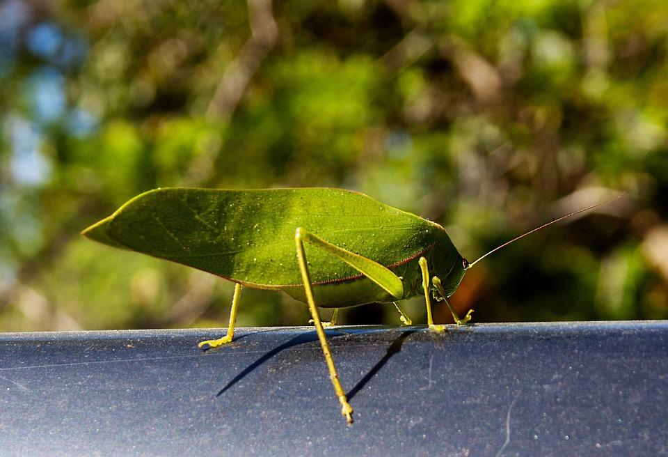 Katydid, Insect