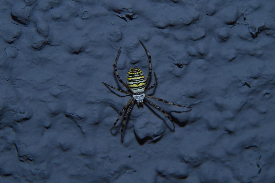 Spider, Wasp Spider, Krabbeltier, Animal, Insect