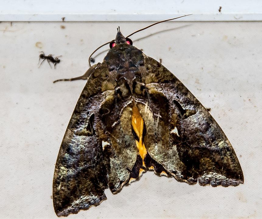 Moth, Fruit-sucking Moth, Large, Insect, Brown, Black
