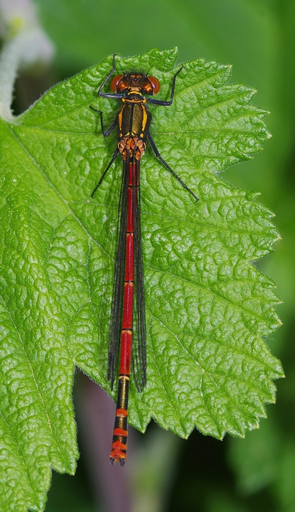 Dragonfly, Damselfly, Large Red, Insect, Macro, Nature