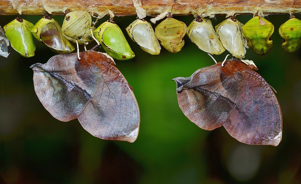 Cocoons, Butterflies, Larva, Larvae, Insect Larvae