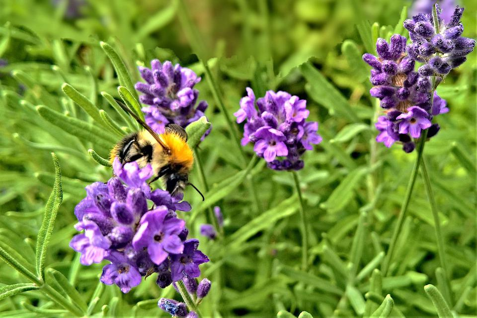 Plant, Lavender, Medicinal Herb, Bee, Insect, Summer