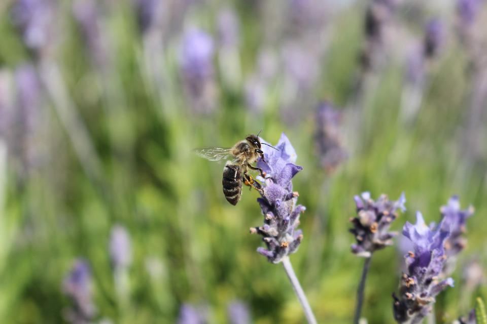 Lavender, Bee, Insect, Purple, Nature, Pollination