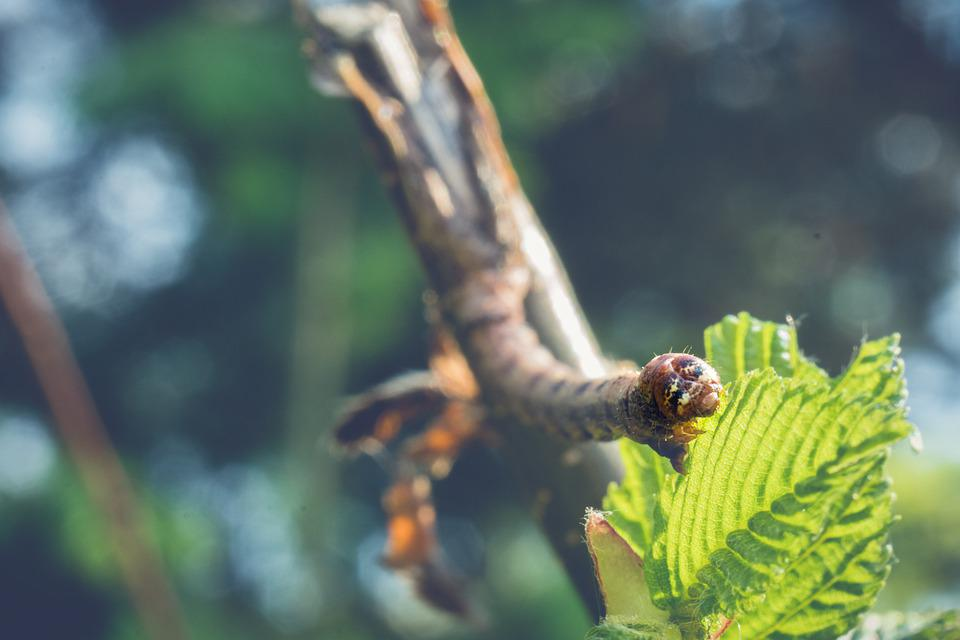 Caterpillar, Larva, Leaf, Insect, Brown Caterpillar