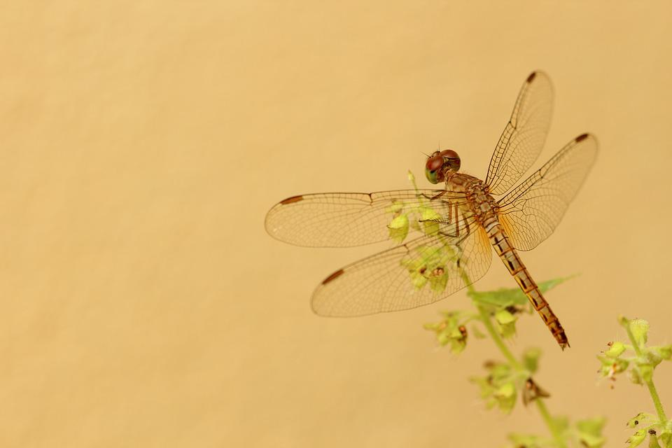 Dragonfly, Yellow, Flower, Grass, Life, Insect, Macro