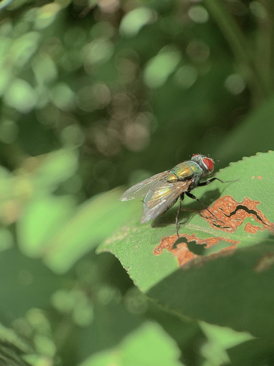 Green Bottle Fly, Insect, Lucilia Sericata, Housefly